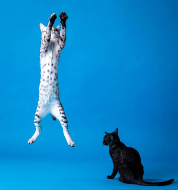 Playing cats picture id860024370?b=1&k=6&m=860024370&s=612x612&w=0&h=gkfneodzanxznvpoajtziq9jezbgh2 rnvcmx x00gw=
