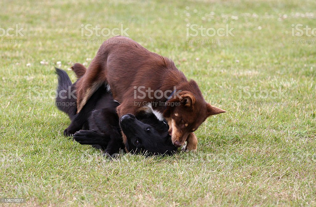 Playing dogs. stock photo