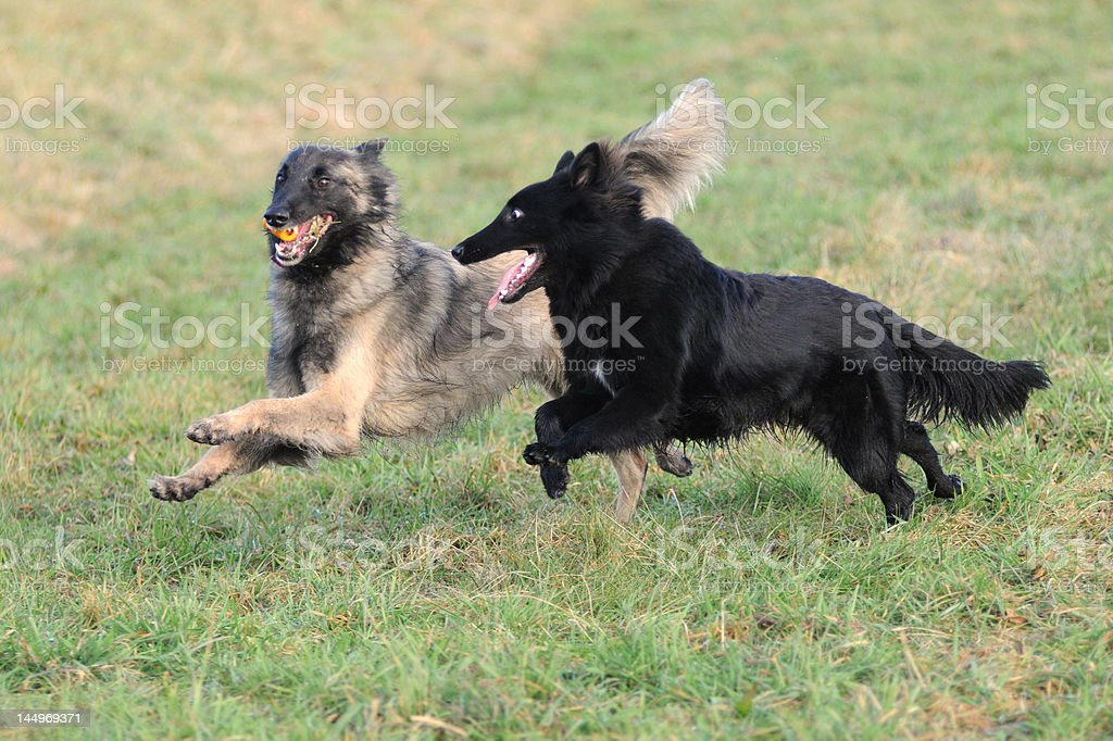 playing dogs stock photo