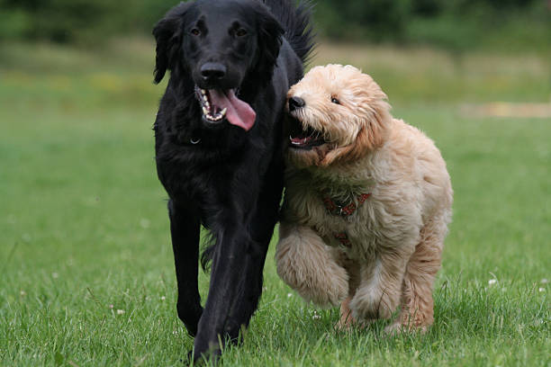 Playing dogs picture id172979805?b=1&k=6&m=172979805&s=612x612&w=0&h=ps39yeosj48ofewy68vbmqyzf143ez8napd22hx xt4=