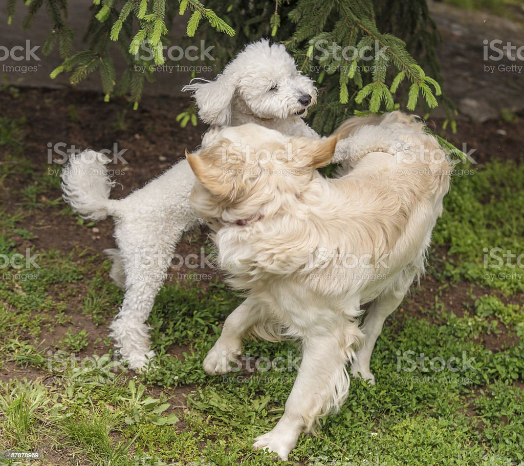Playing dogs royalty-free stock photo