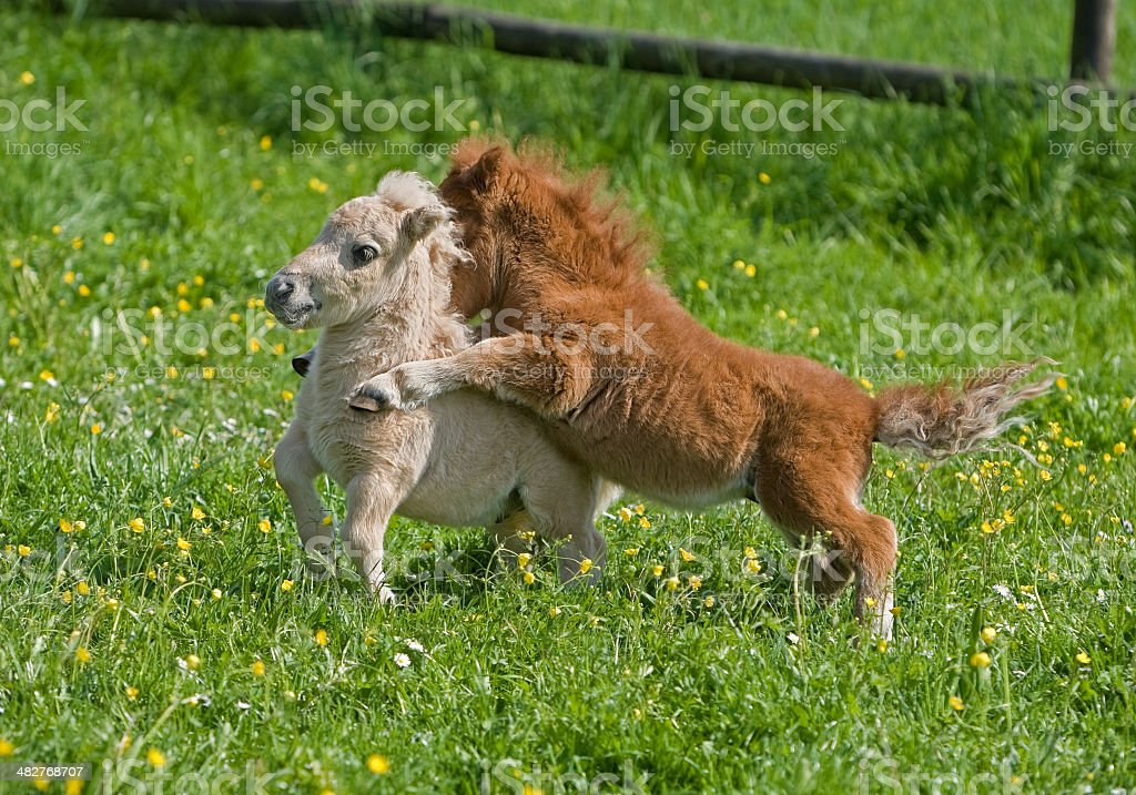 Playing Falabella Foals stock photo