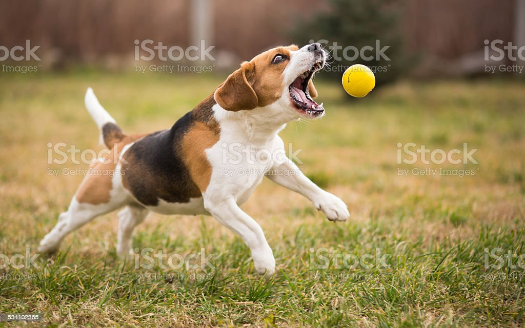 Playing fetch with cute beagle dog stock photo