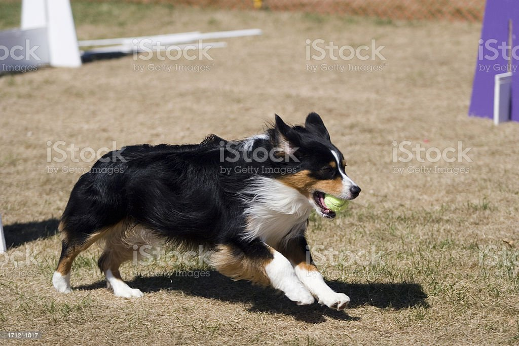 Playing Flyball stock photo