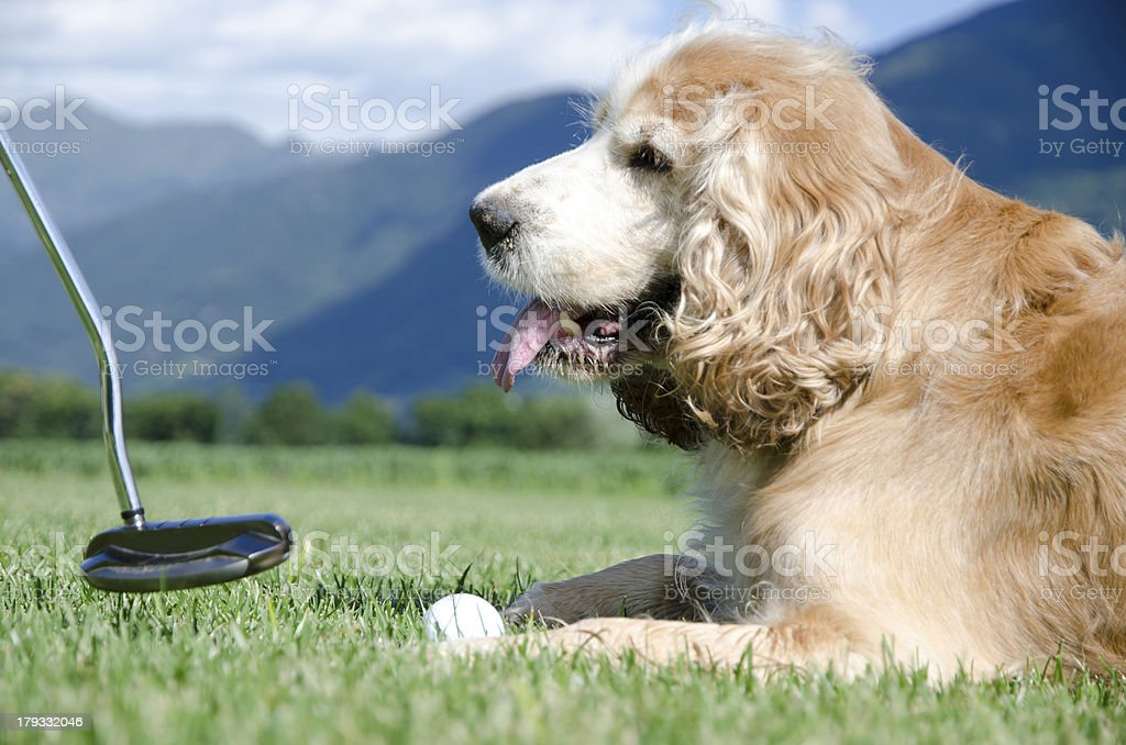 Playing golf with a dog stock photo
