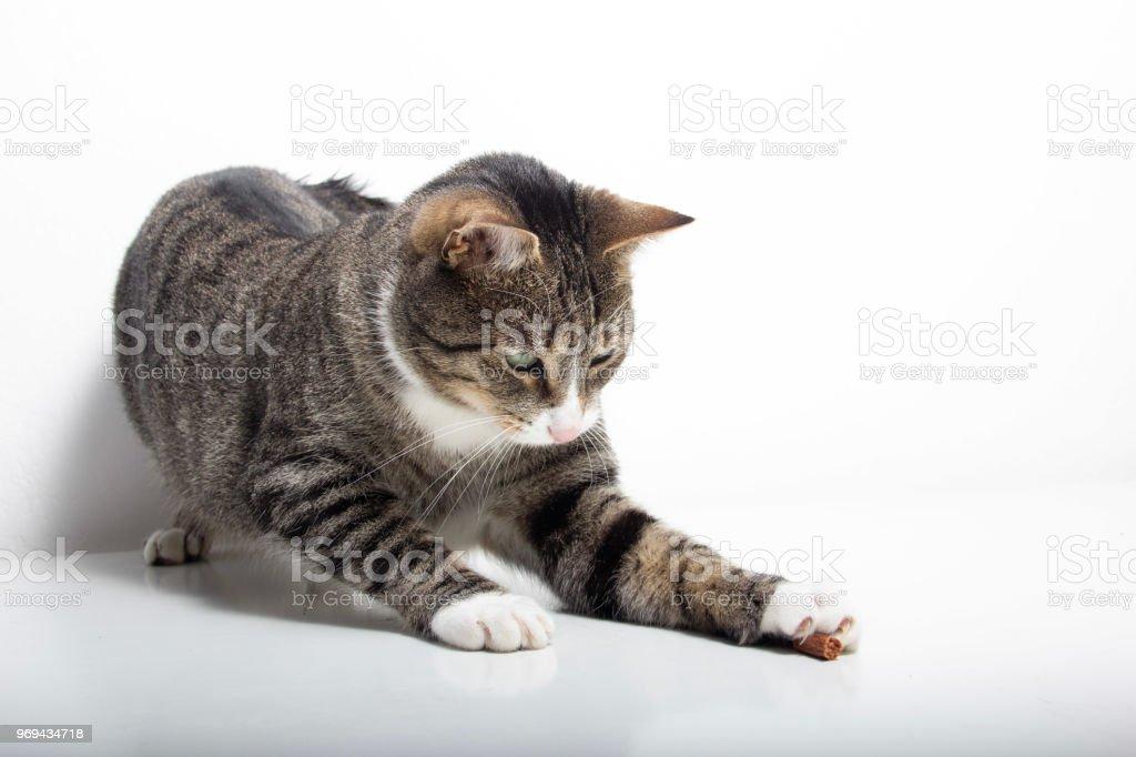 grau Tabby Katze spielen – Foto