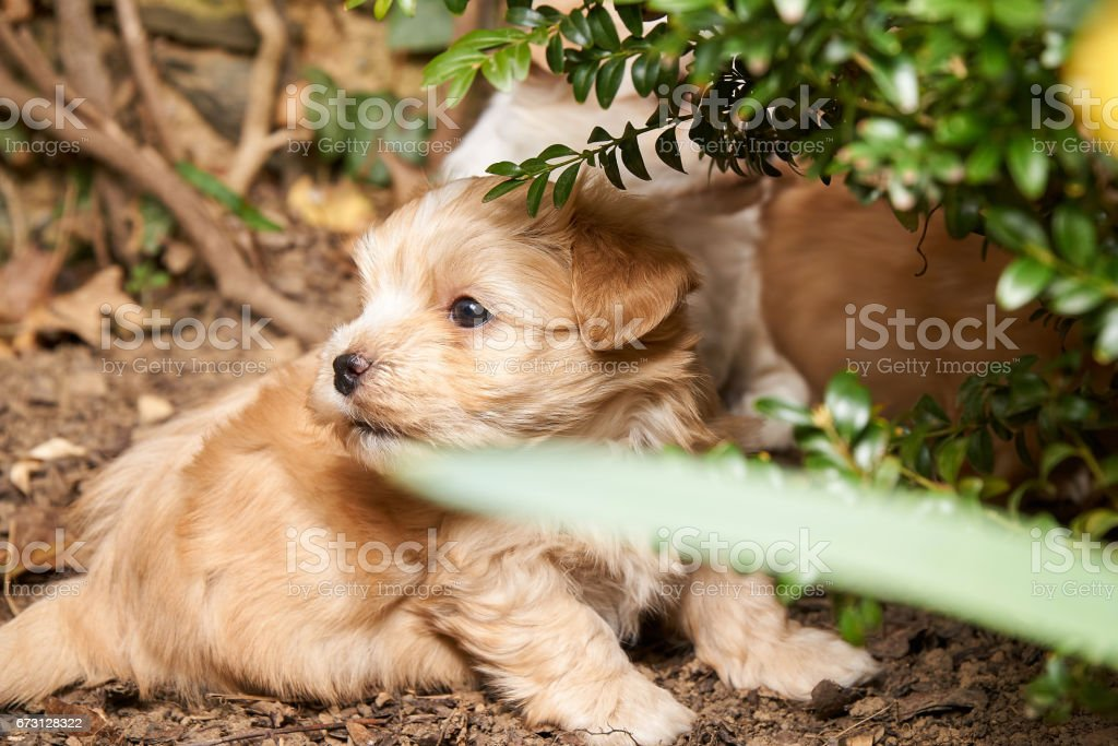 Playing havanese puppy hiding in a bush. stock photo