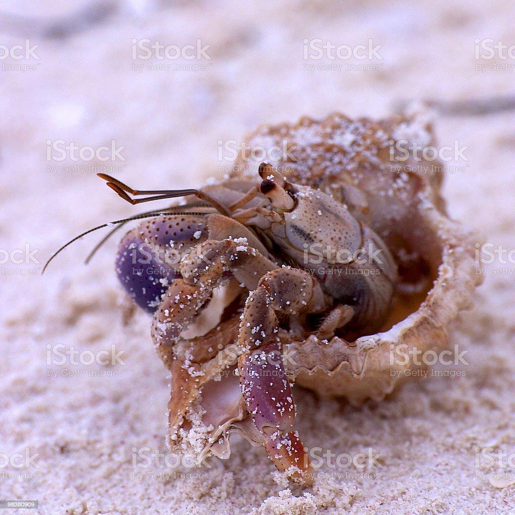 Playing Hermit Crab royalty-free stock photo