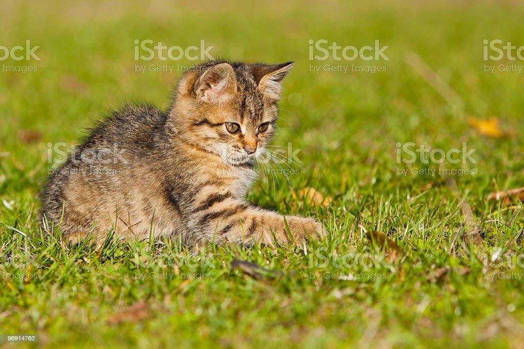 playing kitten royalty-free stock photo