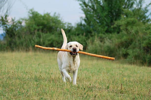 Playing Labrador Retriever stock photo
