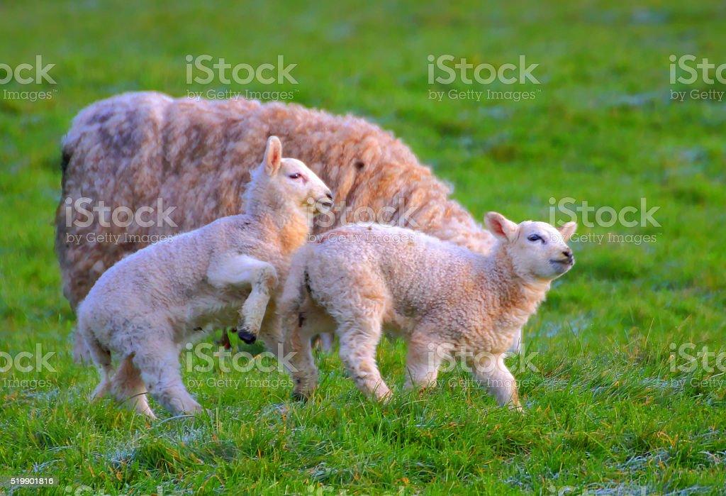 Playing lambs. stock photo