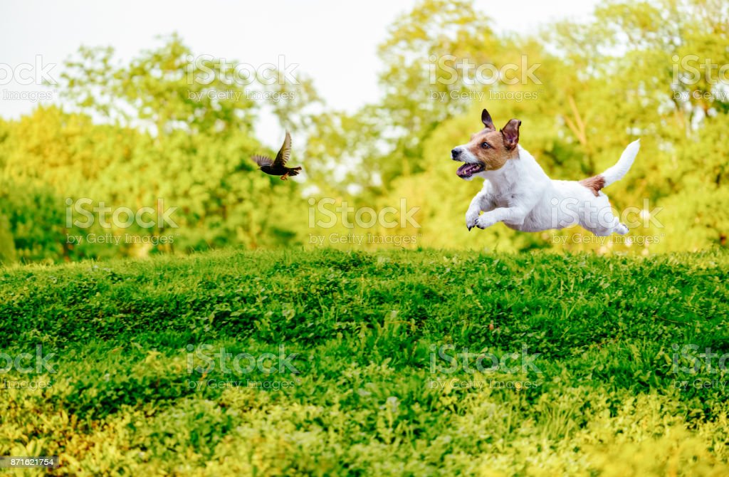Playing off leash dog chasing bird in park stock photo