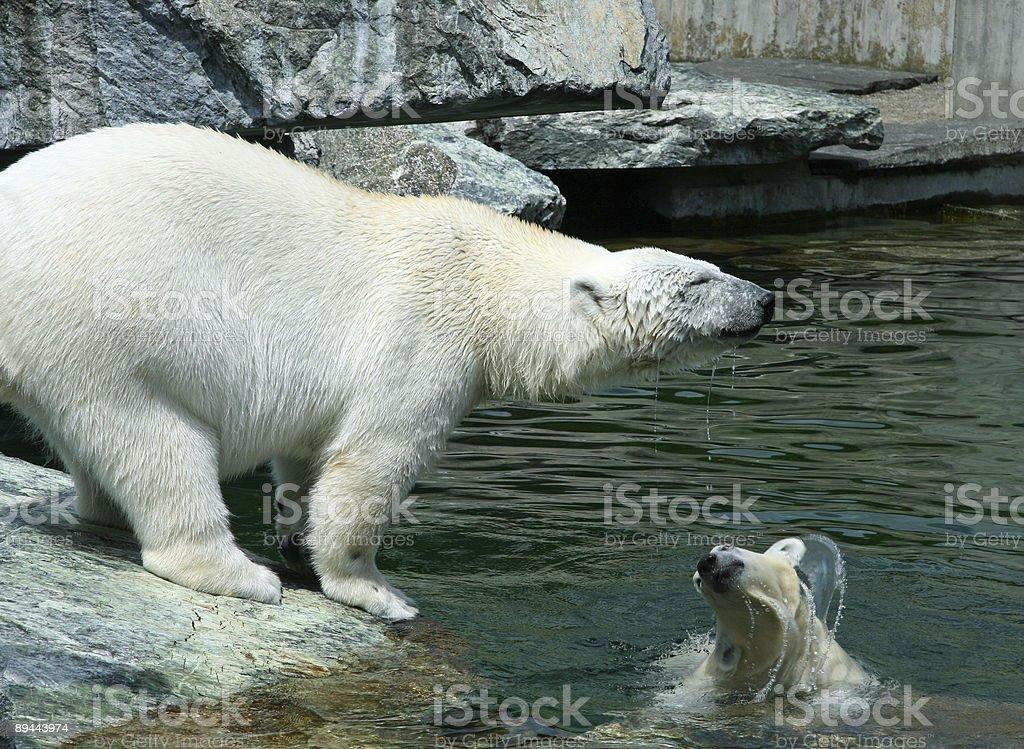Playing Polar Bear Family royalty-free stock photo