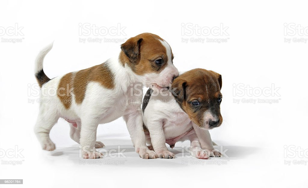 playing puppies royalty-free stock photo