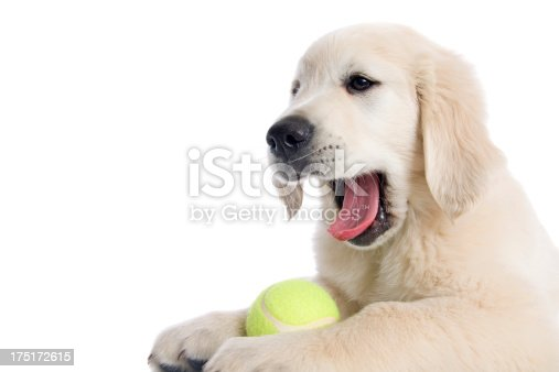A cute Golden Retriever puppy with a tennis ball isolated on white.