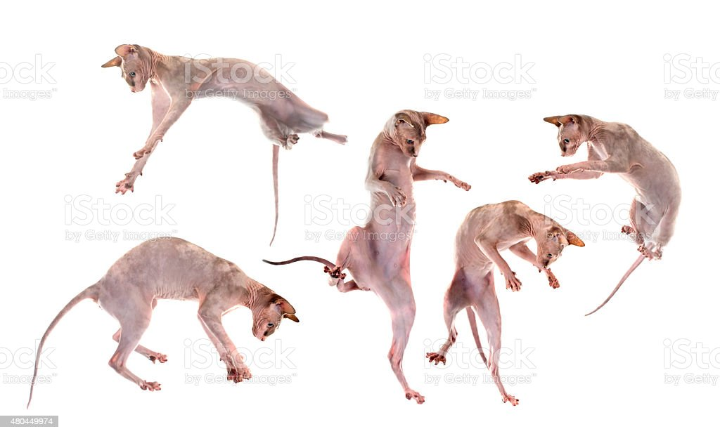 playing Sphynx Hairless Cats stock photo