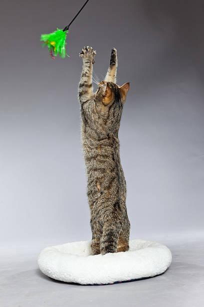 Playing tabby cat in white basket with toy picture id459289515?b=1&k=6&m=459289515&s=612x612&w=0&h=lhytadmpb0 cfrgalbksjcfkjhrzwiqhbb70ntxeele=