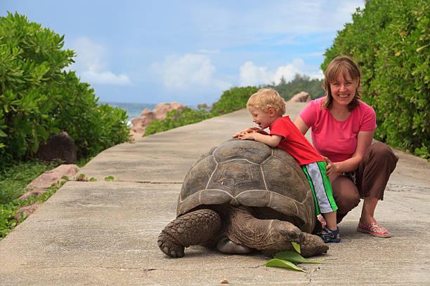 spielen mit riesigen schildkröten - babyschildkröten stock-fotos und bilder