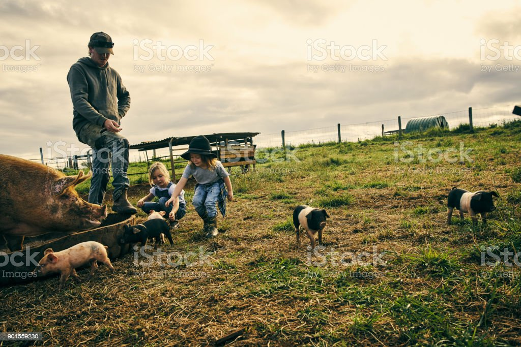Playing with the piglets stock photo