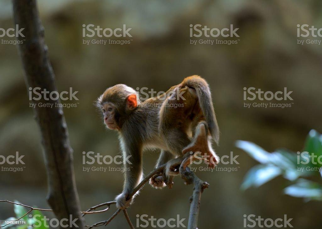 Spielen junge Affen in den Wäldern – Foto