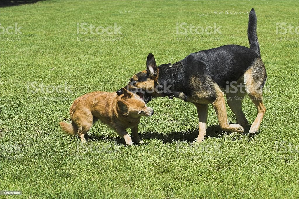Playing/Fighting dogs royalty-free stock photo