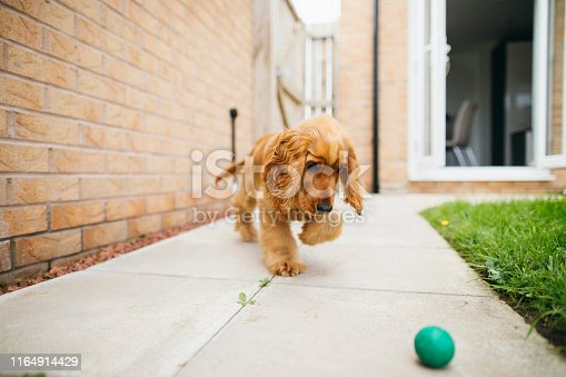 A front-view shot of a cute fluffy cocker spaniel dog playing in the garden, he is walking across the back yard and he is playing with a small ball.