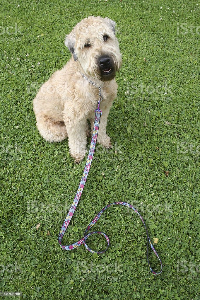 Pleaaaaase, take me for a walk! royalty-free stock photo