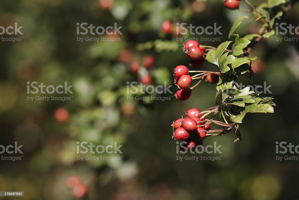 Autumn harvest red berries hawthorn haws royalty-free stock photo