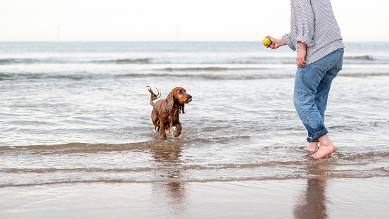 An unrecognisable person holding a tennis ball while their cocker spaniel walks out the sea at the beach and watches the ball.
