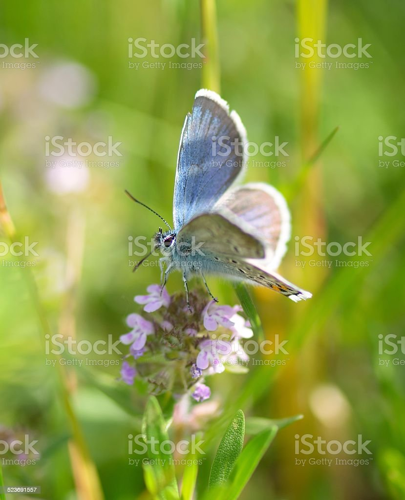 Plebeius Argus Butterfly on a leave (Silver Studded Blue Butterfly) stock photo