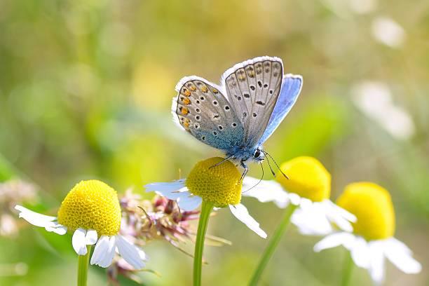 Plebeius argus butterfly on a leave picture id523996677?b=1&k=6&m=523996677&s=612x612&w=0&h=d4ezs3xizkx0h kpmczcn172s0rbgprnishozccfagw=