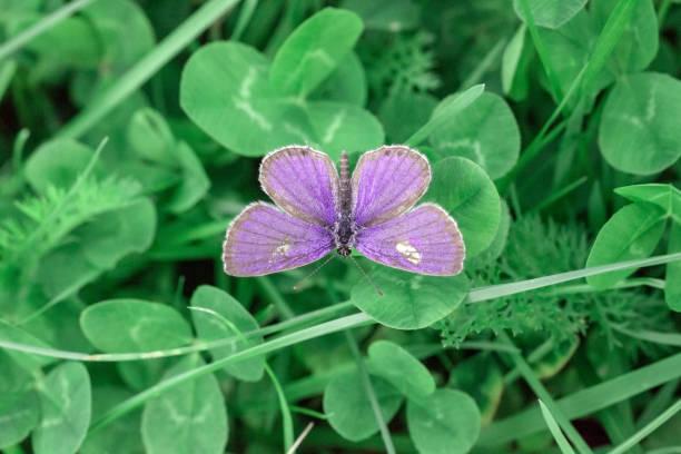 Plebejus argus butterfly top view picture id1134237033?b=1&k=6&m=1134237033&s=612x612&w=0&h=2mlyhhvwia8hp7lcla8sgsiiq0xx8m lbrgoa5givk8=