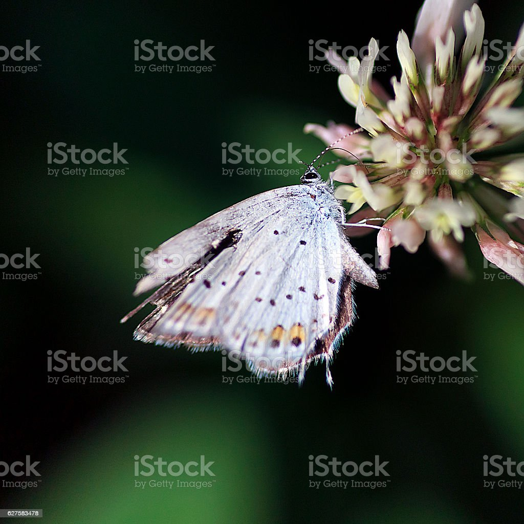 Plebejus Melissa Samuelis stock photo