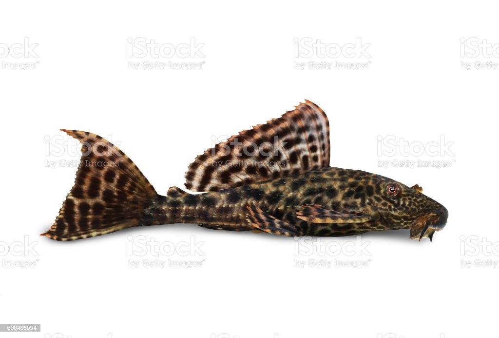 Pleco Catfish Hypostomus Plecostomus aquarium fish stock photo
