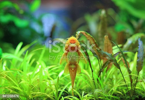 istock Pleco Catfish. Plecostumus fish. 941233474