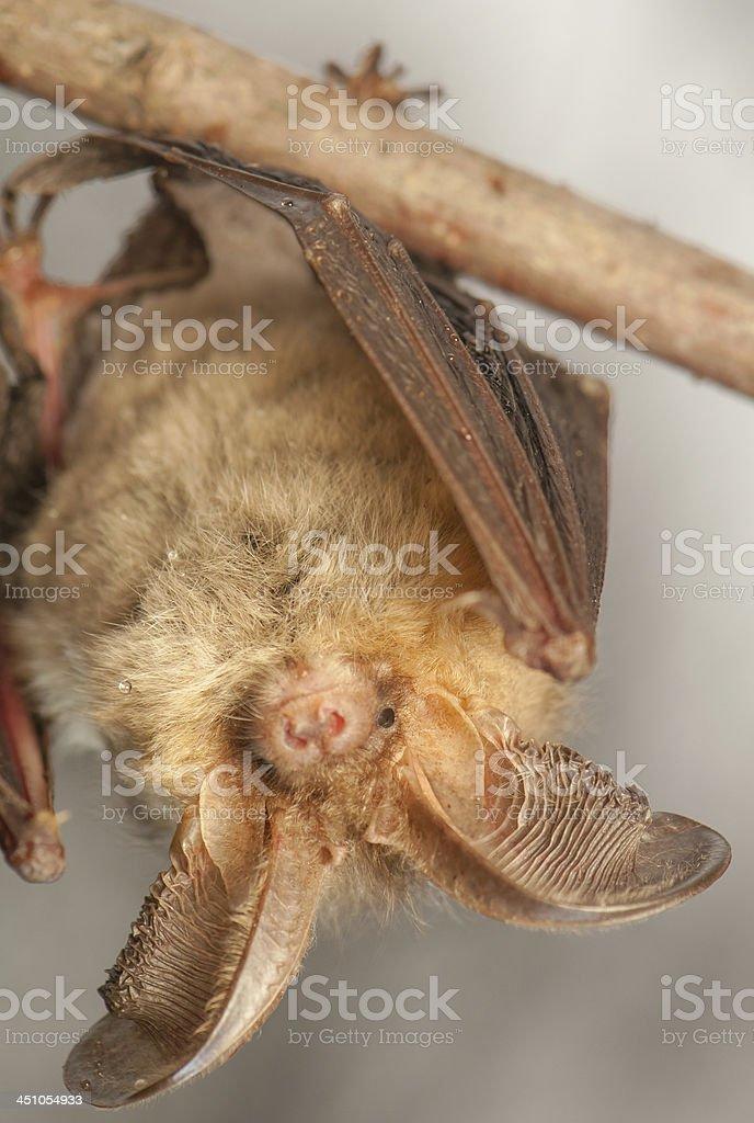 Plecotus auritus stock photo