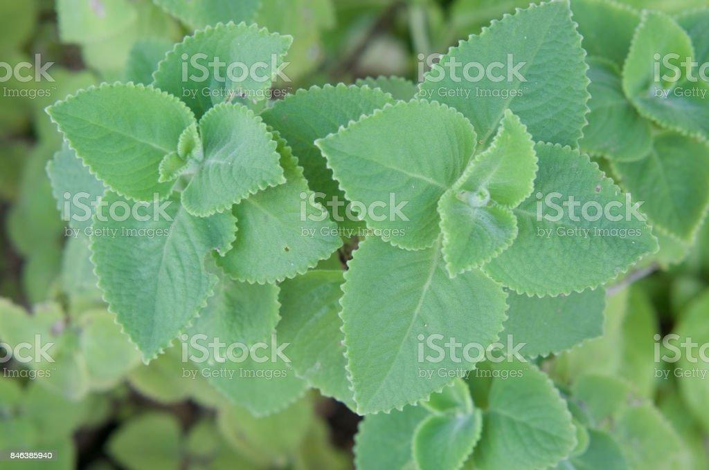 Plectranthus amboinicus or Coleus Amboinicus leaves herbal stock photo