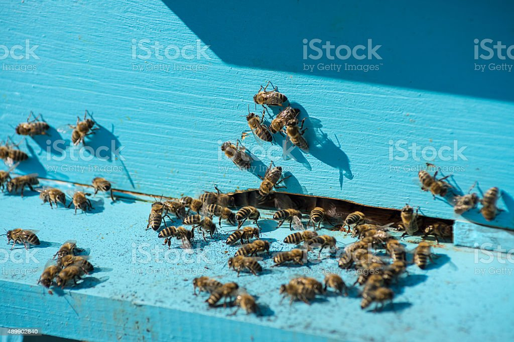 Plenty of bees at entrance blue beehive in apiary stock photo