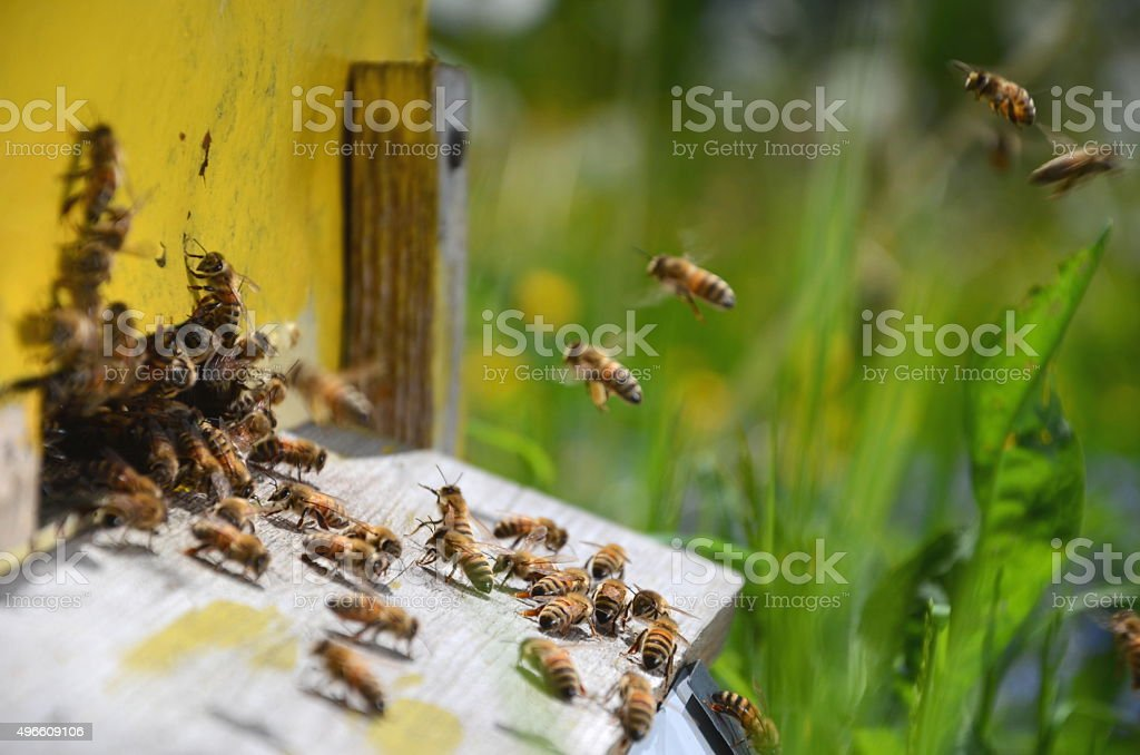 Plenty of bees at entrance of beehive in apiary stock photo
