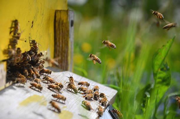 viele bees am eingang der bienenstock in apiary - bienenstock stock-fotos und bilder