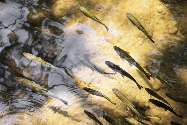 plenty of fishes in shallow water. - desperdício alimentar imagens e fotografias de stock