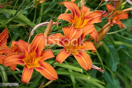 Plenty of Orange lilium / lily (Lilium bulbiferum) also known as Fire Lily. Lilys with open and closed blossoms, close-up.