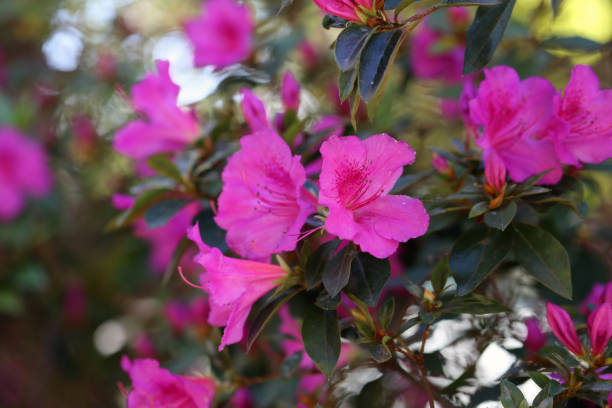 Plenty of Pink Flowers Photographed in Madeira, Portugal stock photo