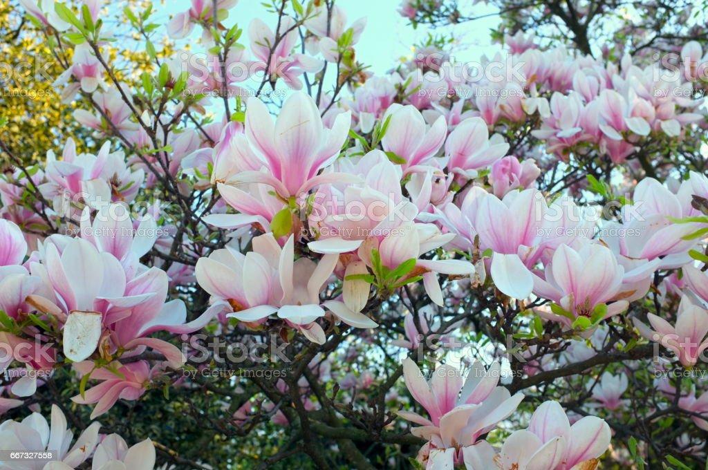 Plenty of white magnolia flowers stock photo