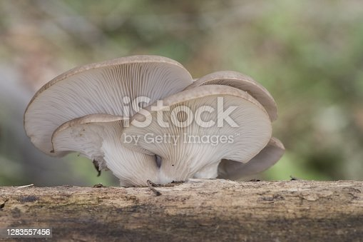 Pleurotus ostreatus Oyster mushroom delicious fungus growing wild on decaying logs ash gray above creamy white in blades and stipite flash lighting