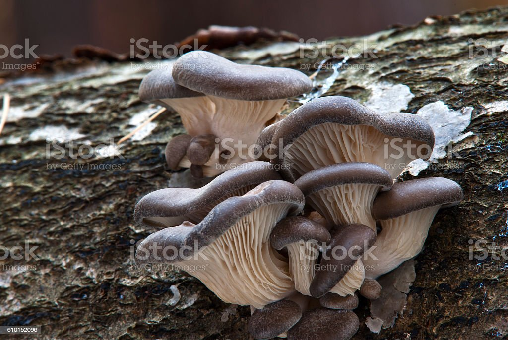 Pleurotus ostreatus stock photo
