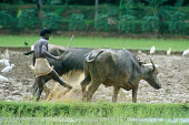 Coventional way of ploughing rice field in Kerala, India