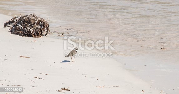 Plover bird by the Caribbean Sea water's edge on the east end of St. Croix in the US Virgin Islands