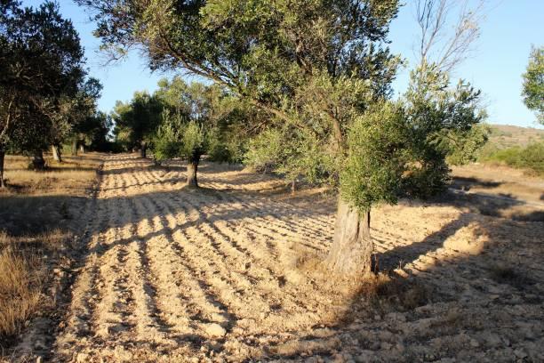 Champ labouré, oliveraie en Grèce - Photo