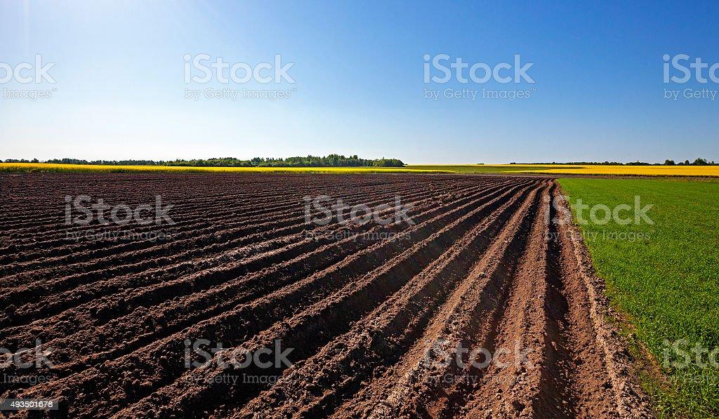 plowed land .  canola. stock photo